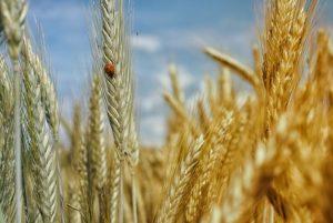 Kuna kiudained asuvad teraviljade kestades (kliides), võiks eelistada täisteravilja.