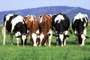 Maheliha ja -piim kasvavad loodusliku sööda peal, mis annab mahetoidule suurema oomega-3-rasvhappe sisalduse.