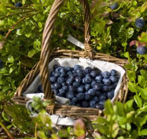 Mustikates olevad kiudaineid ja prebiootikumid soodustavad seedimist.
