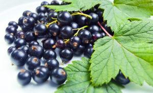 Mustasõstralehed on head tervisliku toidu ja tee tegemiseks. Need sisaldavad C-vitamiini ja antioksüdante.