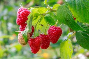 Tervisele on kasulikud nii vaarika marjad kui ka taime lehed ja varred.