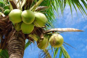 Kookospalmi vili on tervislikest rasvhapetest pakatav kookospähkel.