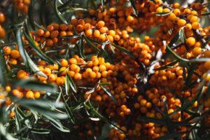 Astelpaju on haruldane taim, mille kõik osad on erakordselt tervislike omadustega.